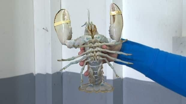 People have been coming from all over to get a glimpse of the white lobster.
