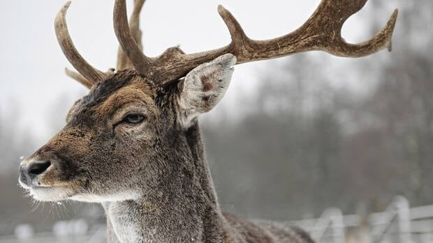 Aboriginal hunters could have killed 80 deer in Dundas Valley this winter, but they erred on the side of caution and only killed 37, says Paul Williams from the Haudenosaunee Wildlife and Habitat Authority. (iStock)