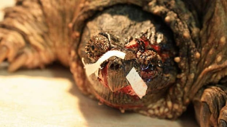 Turtle hit by car airlifted 400 km for medical care | CBC News