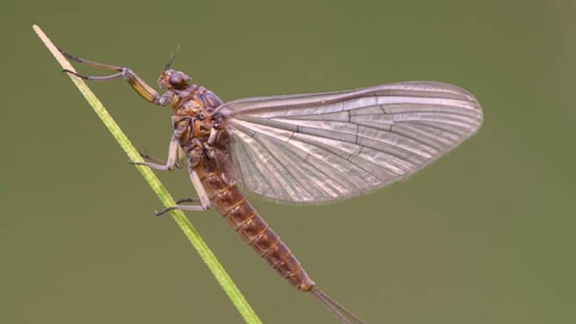 The annual swarms of shad flies are back in North Bay ...
