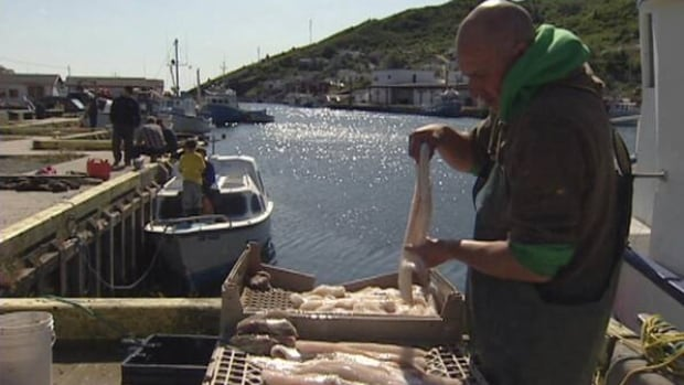 Fisherman Harry Lee prepares cod fish caught on the first day of the 2012 food fishery. Under the moratorium, Newfoundland and Labrador's inshore fishers are allowed an annual take of just over 3,600 pounds in what is called a recreational fishing quota.