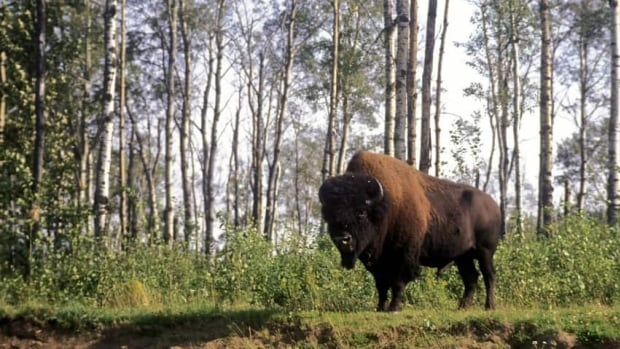 Thirty more wood bison from Alberta have been flown to live in Russia as part of a conservation project.