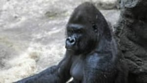 hi-gorilla-zoo-kitchen-3col