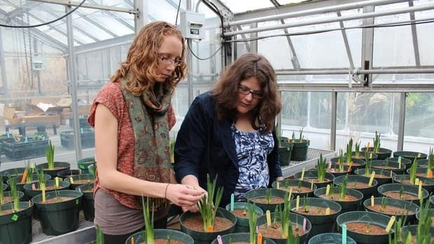 Amanda File (left) and Susan Dudley (right) working in the greenhouse at McMaster University.
