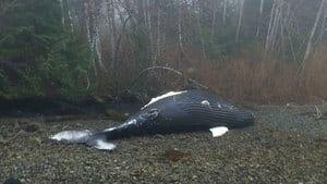 hi-bc-130329-humpback-whale-4col