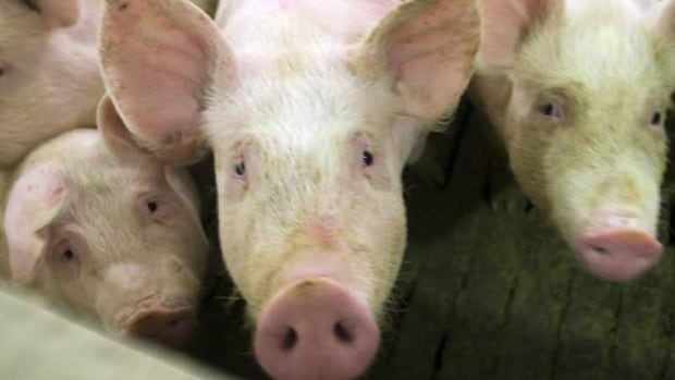 In 2013, Saskatchewan exported 25 tonnes of frozen pork valued at $66,951.