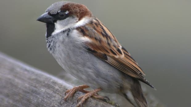 A bird watcher in Lunenburg County says house sparrow numbers are declining.