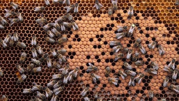Honey bees sit on a honeycomb in Wezembeek-Oppem near Brussels, on April 15, 2013.