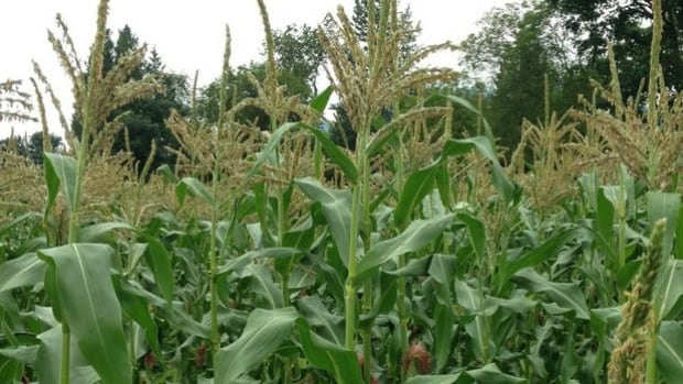Corn grows on Gord Mitchell's Chilliwack farm. A 1.3 acre swath of land was damaged by Spectra Energy in 2011.