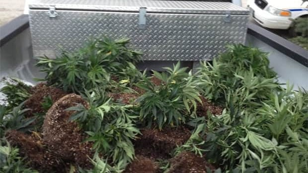Steinbach RCMP seize 65 marijuana plants found in the basement of a home.