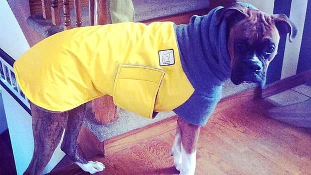 Some dogs with thinner coats may require protection from the cold.