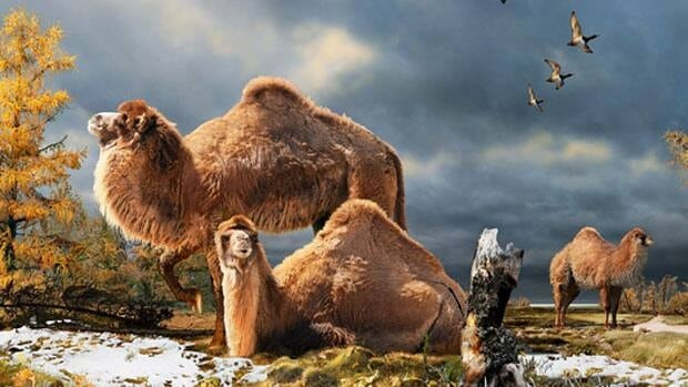 Illustration of the High Arctic camel on Ellesmere Island, Nunavut during the Pliocene warm period around 3 million years ago.