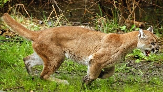 The cougar was 'just big kitty cat' to the children at the Winfield, B.C. daycare.