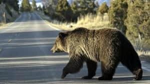 mi-grizzly-bear-ap