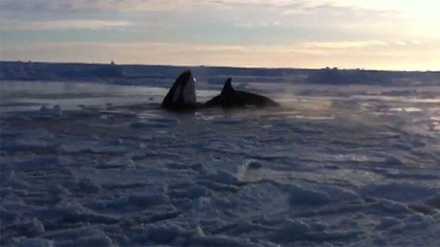 Killer whales are trapped in ice near Inukjuak in this recent photo.