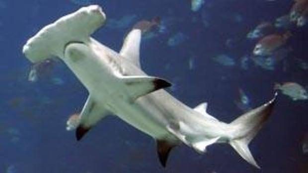sm-300-hammerhead-shark-04104885