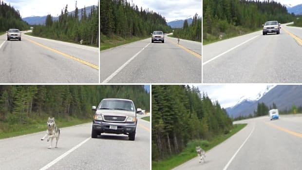 The wolf crossed a lane of traffic as it chased down Tim Bartlett's motorcycle on Highway 93 in Kootenay National Park on Saturday.