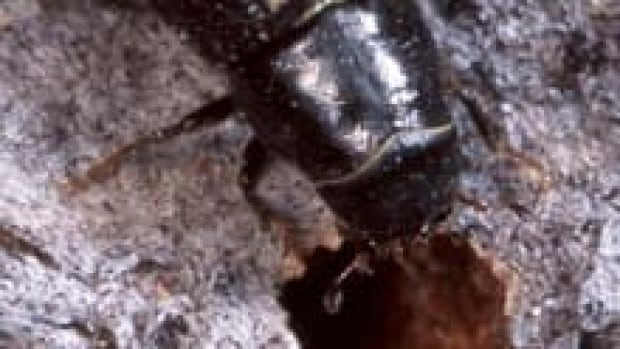 hi-bc-130109-pine-beetle-3col