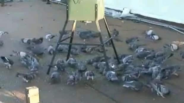 A rooftop pigeon feeder delivers medicated food to slowly sterilize birds.