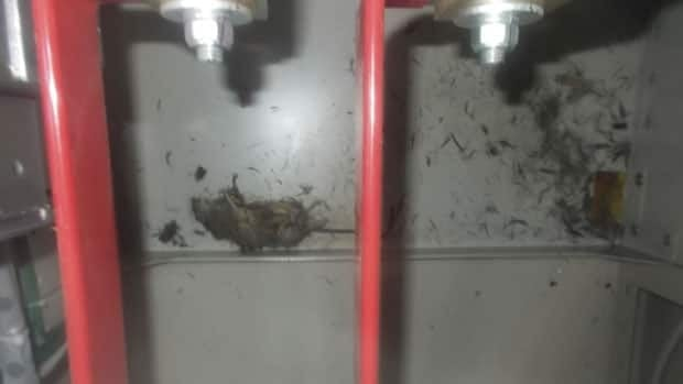 The carcass of a rat was found inside a temporary electric switchboard at the Fukushima Daiichi plant in northeastern Japan Wednesday. The rodent may be linked to this week's power failure at the plant.