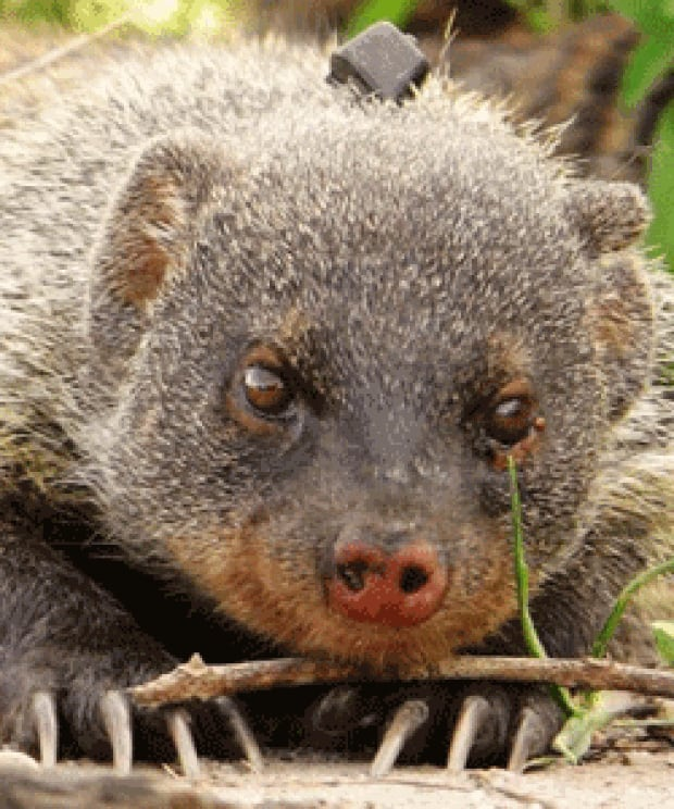si-banded-mongoose