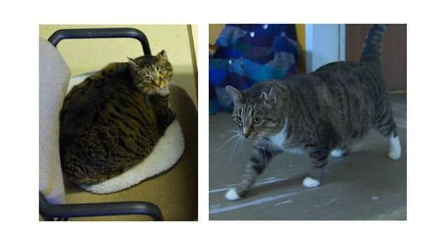 Fat Boy (left) weighing in at 24 pounds two years ago. Now (right) a slimmer and more agile cat, at 17 pounds.