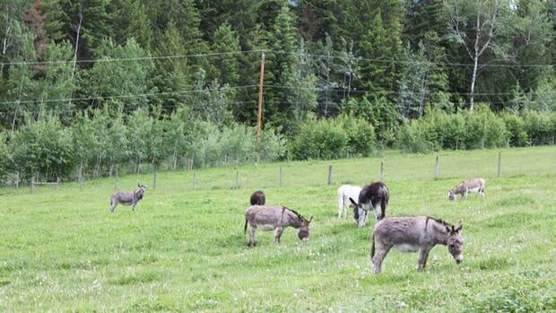 An animal sanctuary is trying to raise $4,000 to transport 15 miniature donkeys from Vancouver Island to the province's interior.