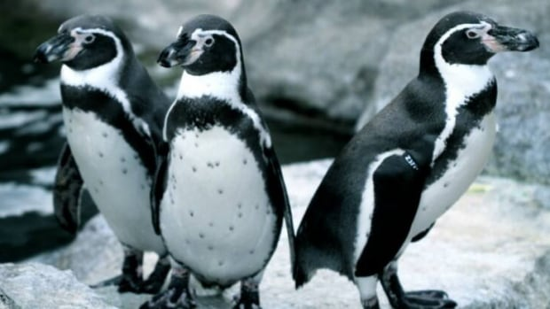 Image result for images of Seven penguins drown