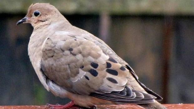 The Canadian Wildlife Service announced earlier this summer a new hunting season for mourning doves will open on Sept. 5 for the central and southern hunting districts in Ontario. The season runs for just over two months.