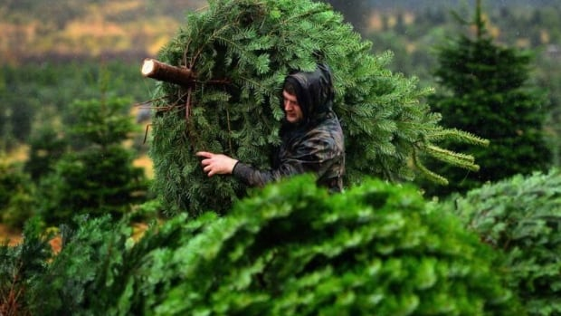 This year, Perry Grobe had to 'fight tooth and nail' to get the number of Christmas trees his nursery usually buys to sell to the public.
