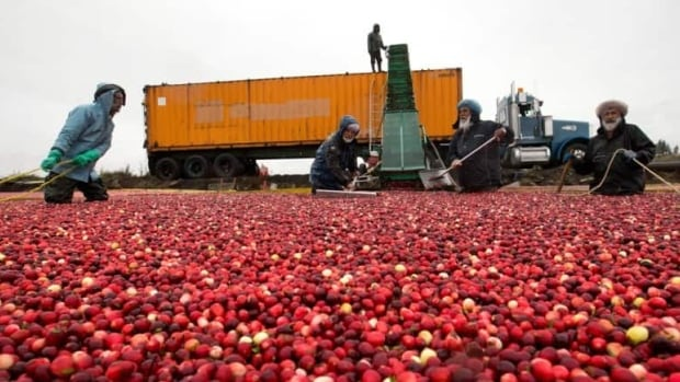 The lower mainland of British Columbia produces 20 percent of the world's cranberries, but the cost of land is making farming prohibitively expensive, according to the a new study by Vancity.