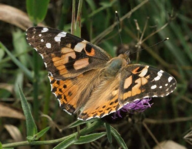 Painted-lady butterfly