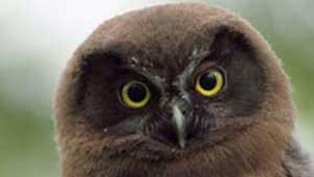 mi-boreal-owl-300