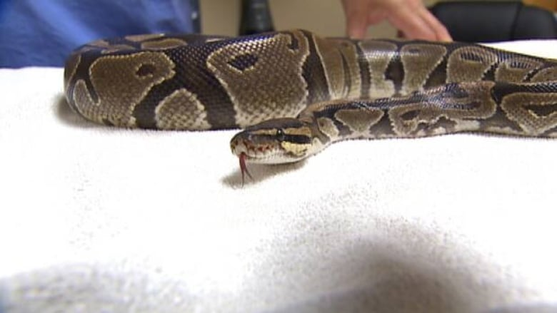 Python found on Halifax lawn returned to owner   CBC News