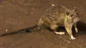 300-rats-cp-03209769