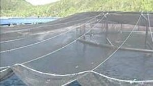 hi-salmon-farm-20121218-3col