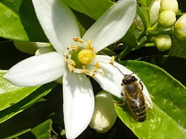 sm-300-honeybee-science-wright1hr