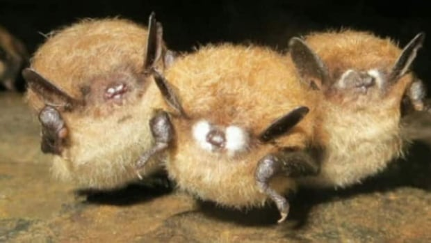 Bat populations are being wiped out across eastern North America, due to white-nose syndrome, a rare fungal infection that attacks bats while they hibernate.