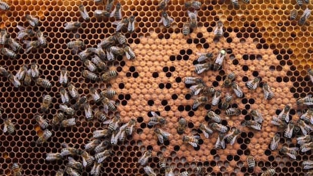 In this photo taken Monday, April 15, 2013, honey bees and the queen (with yellow dot) sit on a honeycomb in Wezembeek-Oppem near Brussels. EU Member States meet on April 29, to decide on a proposal by the European Commission to impose a 2-year moratorium on neonicotinoid pesticides, which many scientists agree are the driving force behind Europe's dramatic bee decline.