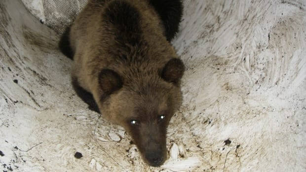The young bear will be relocated to a remote area somewhere north of Canmore on Thursday.