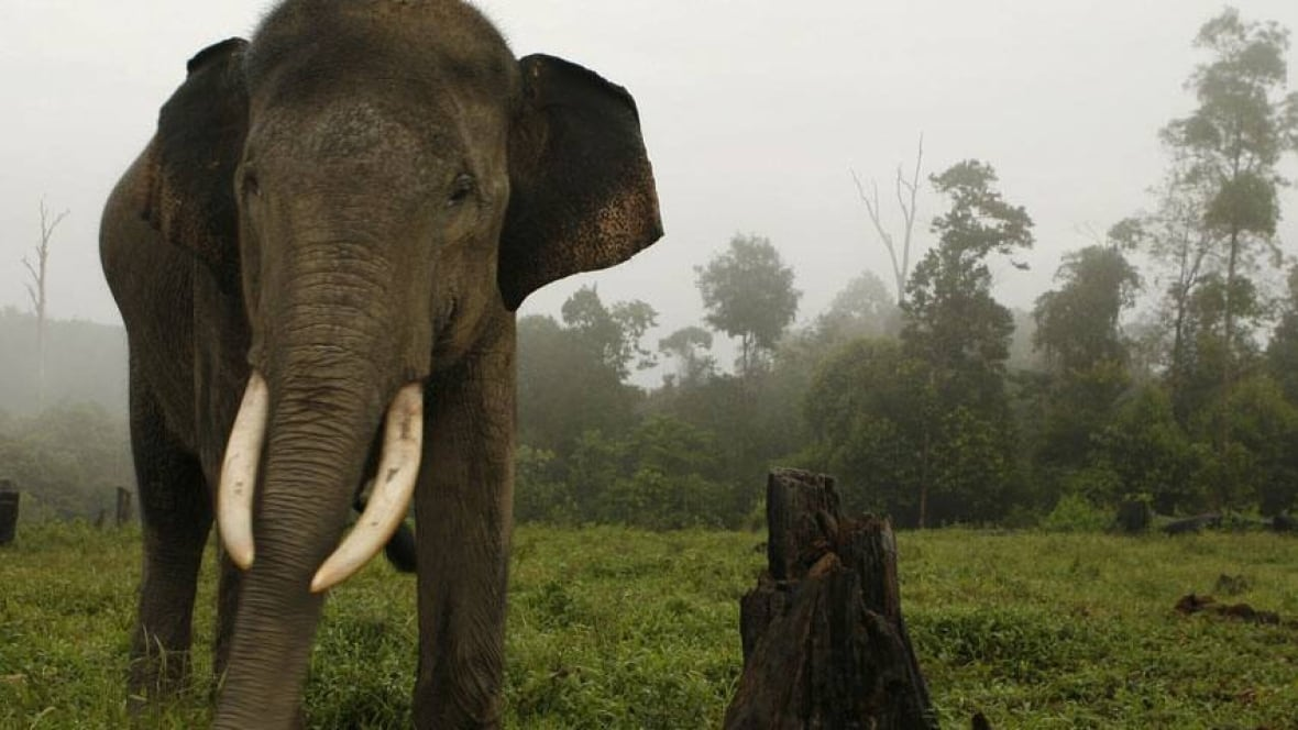 World's most endangered species - Newspaper - DAWN.COM |Sumatran Elephant Endangered