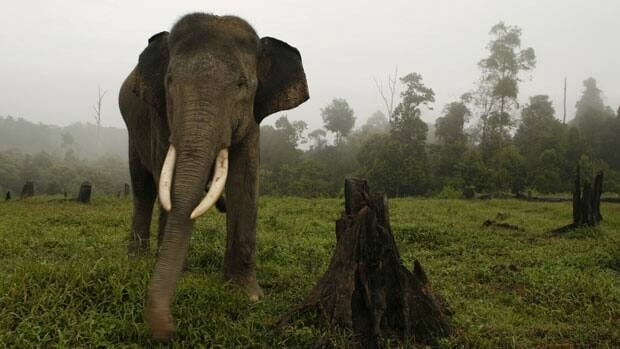 Indonesian police say an endangered Sumatran elephant, like the one shown, was found dead and after allegedly being poisoned by poachers.