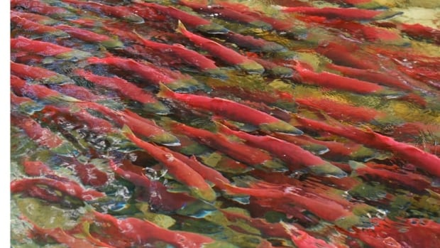 The transfer of diseased fish into open ocean fish farm pens puts wild salmon at risk, the Federal Court found.
