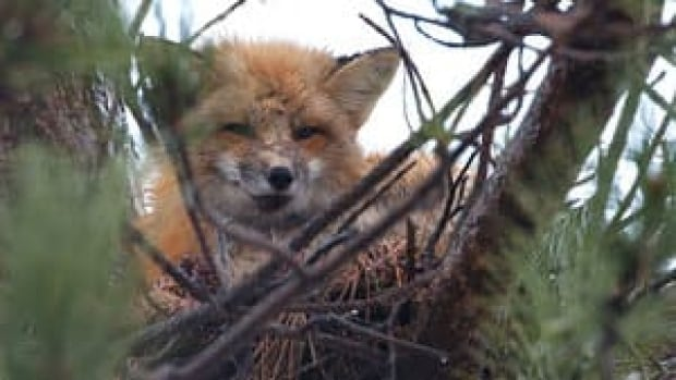 pe-hi-fox-crows-nest-4col