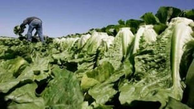 hi-romaine-lettuce-852-ap-8826889-4col