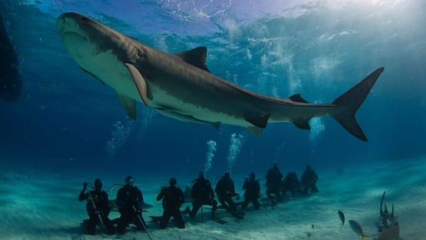 Sharks worth more in ocean than in soup, B.C. study finds