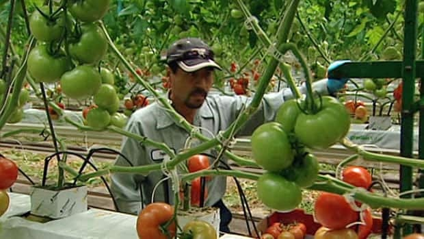 Greenhouse growers in Ontario produce 300 million English cucumbers, 165 million pounds of bell peppers and 420 million pounds of tomatoes each year.