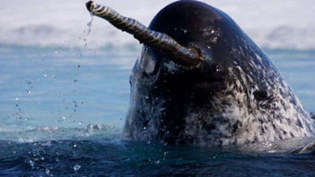 A Halifax-based researcher suggests equipping narwhals with acoustic receivers could tell scientists about the distribution of Greenland halibut in Baffin Bay or the Davis Strait.