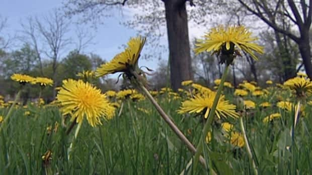 Researchers hope to test dandelion tea on patients at a Windsor, Ont., cancer clinic after it was found the roots killed cancer cells in the lab.