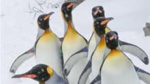 hi-king-penguins-852-3col